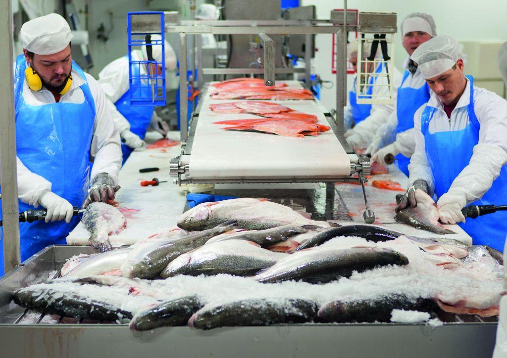 Kalaneuvos Oy työllistää 120 henkilöä. Yritys on Sastamalan suurin yksityinen työnantaja. Kalaneuvos Oy, Martin Kala Oy ja Nordic Fish Oy työllistävät yhteensä 250 kala-alan ammattilaista. (Kuva: Kalaneuvos Oy)