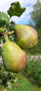Kasvisten ja hedelmien tuottamista paikallisesti ja pienimuotoisesti voisi lisätä esimerkiksi kumppanuusmaatalouden tai pysyvän penkkiviljelyn avulla.